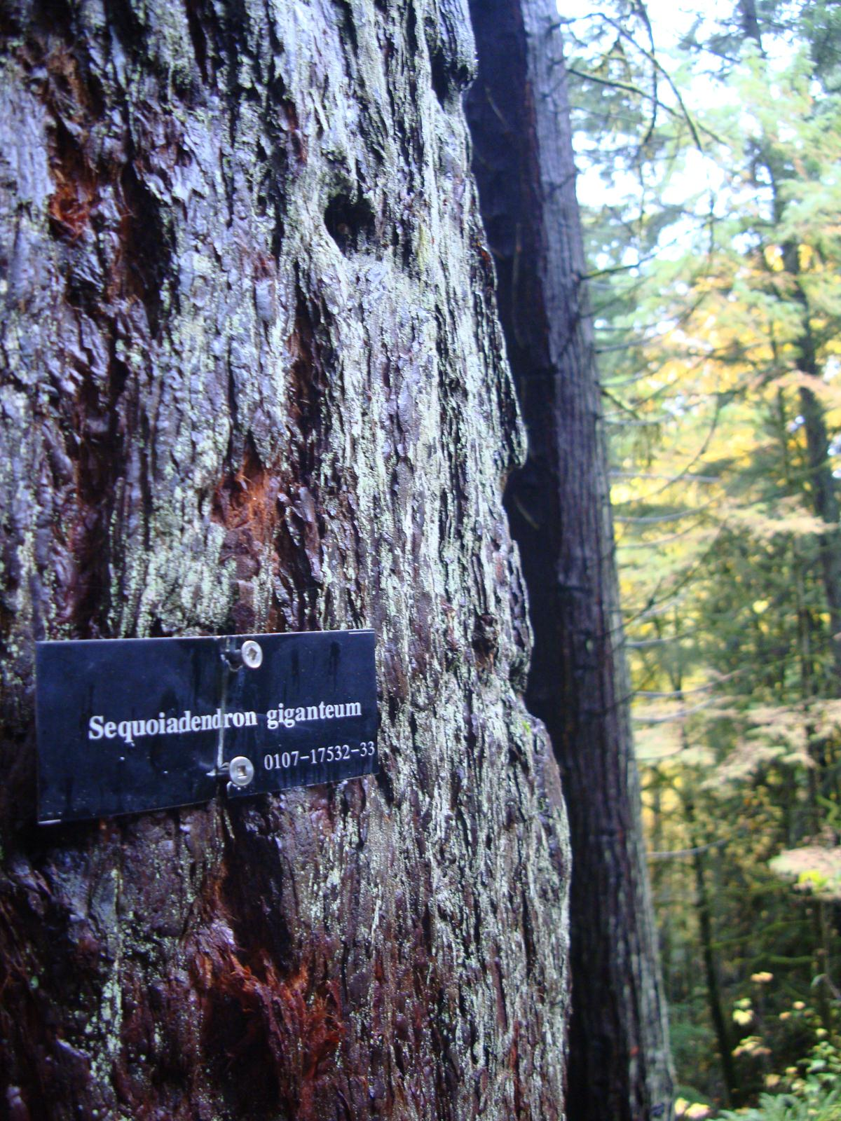 Giant Sequoia marker on tree trunk.