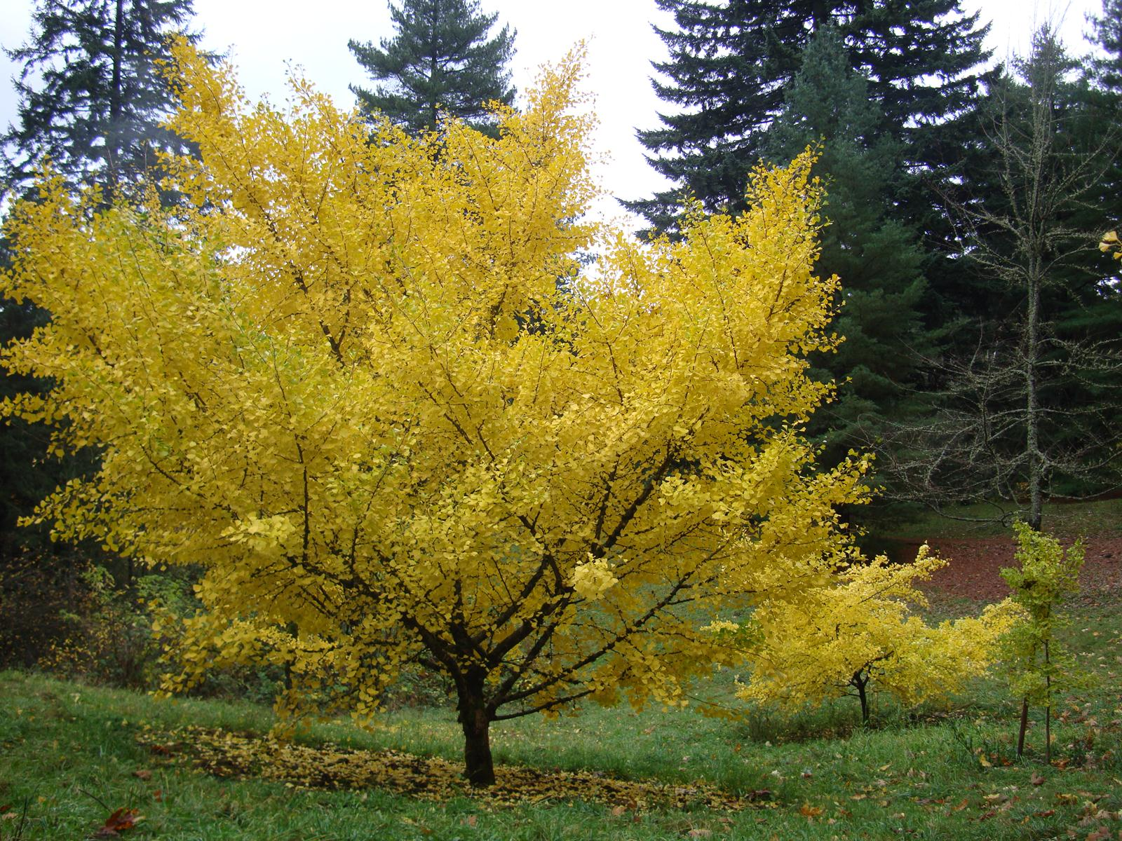 Ginkgo Tree in Full Yellow Glory.