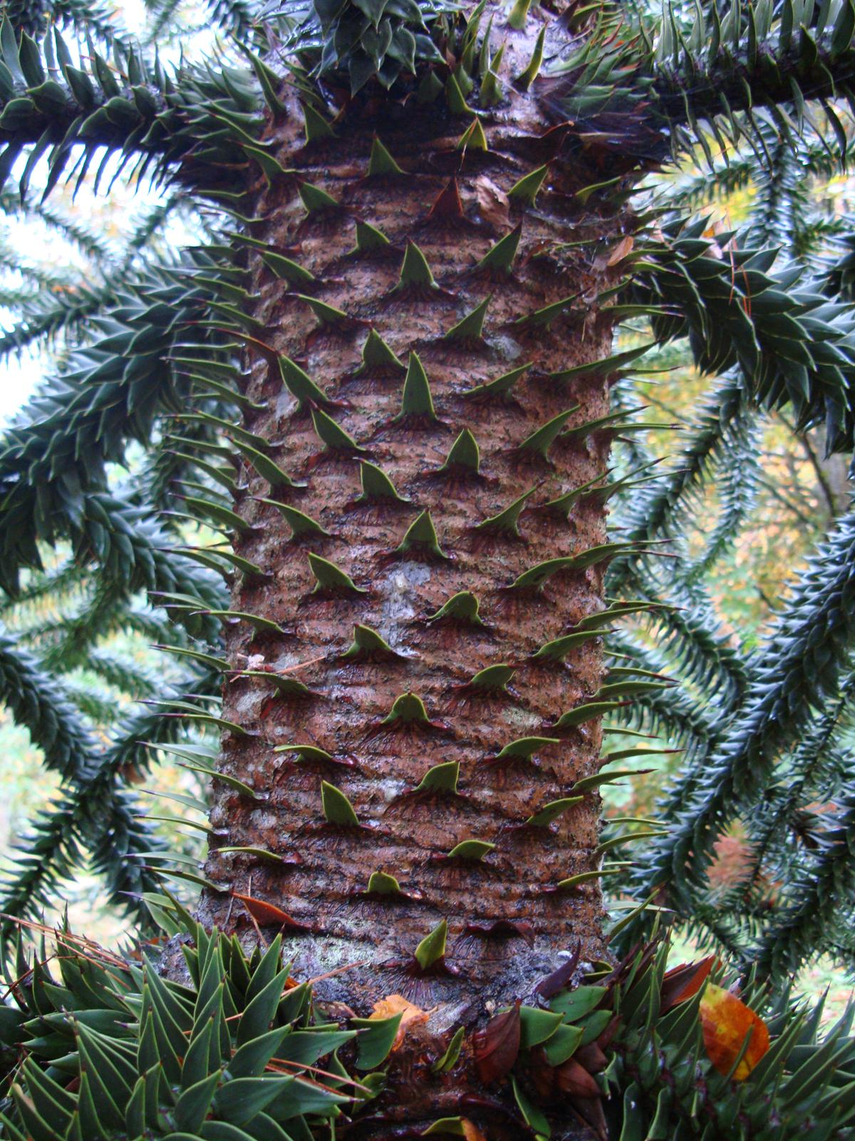 Monkey Puzzle Tree trunk – spiky growths on trunk.