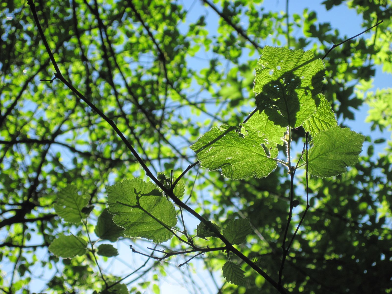 Hazelnut leaves illuminated in the sun-dappled forest