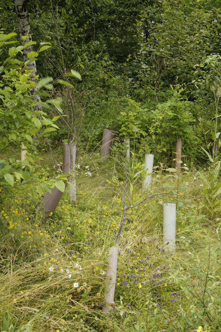 Habitat restoration in progress - young trees get protection from the vermin.