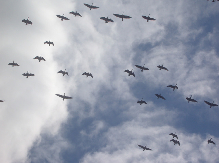 Canada Geese fill the sky