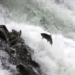 Salmon spawn at Lucia Falls