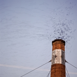 The swifts circling the Chapman chimney