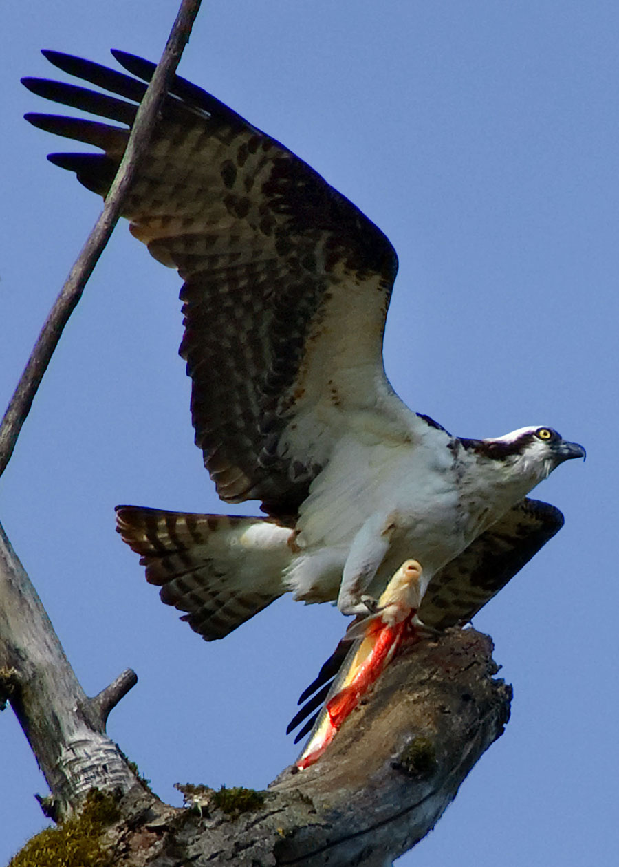 An osprey on the creek